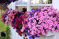 May my petunias look this good-think fertilize,fertilize fertilize!