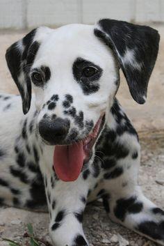 Dalmatian. My 1st dog was a dalmatian named duncan he was the shiz <3 rip buddy