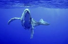 Image result for humpback whales of tonga