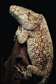 Arnolis barbatus lizard [Is this real? I don't recall ever having heard of it. Cute Reptiles, Reptiles And Amphibians, Mammals, Geckos, Rare Animals, Animals And Pets, Beautiful Creatures, Animals Beautiful, Bearded Dragon Funny