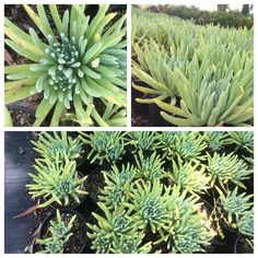 Check out this succulent ground cover that is also a California native -- Dudleya hassei. It has a beautiful common name:  Catalina Island Live-Forever.  #Dudleya_hassei #succulents_groundcover  #succulents_coastal