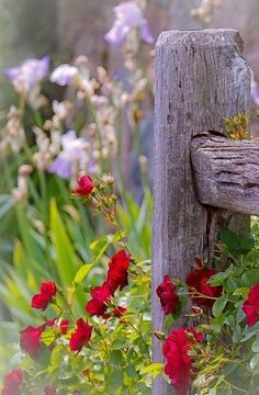 blaze roses against weathered wooden fence   This is exactly where I planted mine