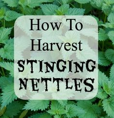 >Learn how to harvest stinging nettles! Great info for foragers.