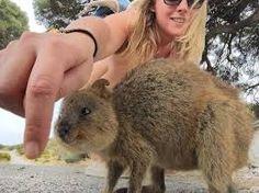 Quokka Selfie Is Cutest Trend In Australia Right Now Happy Animals, Cute Animals, Quokka, Capybara, Wombat, Nature Photos, Kangaroo, Funny Jokes, Wildlife