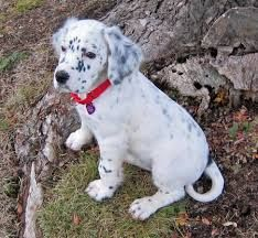 Image result for english setter puppies