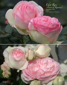 Rosa Eden Rose (alias Pierre de Ronsard ) by FilRoses Le Temps des Roses, via Flickr Beautiful Roses, Pretty Flowers, Beautiful Things, Roses Garden, Garden Plants, Eden Rose, Rare Roses, Rose Varieties, Old Rose