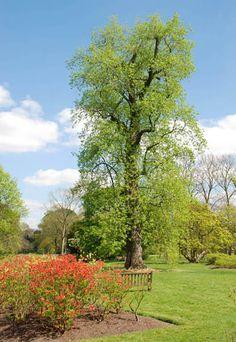 Amerikaanse Tulpenboom of Liriodendron tulipifera