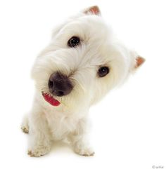 Artlist Collection THE DOG (West Highland White Terrier) — Hi there!