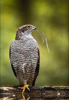 mit dem Grashalm by Georg Scharf / Mandarin Duck, New Years Sales, Big Bird, Gras, Wildlife Photography, Beautiful Birds, Birds In Flight, Eagles, Safari