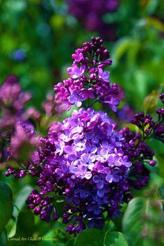 Lilac - OHHH!! - SOOO INCREDIBLY BEAUTIFUL!! - LOVE! LOVE LILACS.