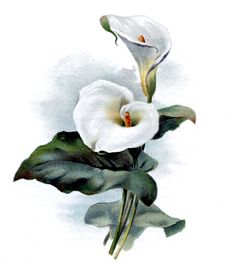 Vintage Botanical Graphic - Cala Lily - The Graphics Fairy. Would love as a tattoo Lily Images, Flower Images, Flower Art, Botanical Drawings, Botanical Illustration, Botanical Prints, Lilies Drawing, Easter Flowers, Vintage Diy