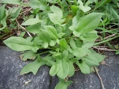 Foraging and Cooking With Wild Sorrel - Real Food - MOTHER EARTH NEWS