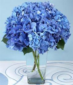 Beautiful blue hydrangeas