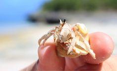 Hermit crab at Viwa Island, Fiji. Nature Photography