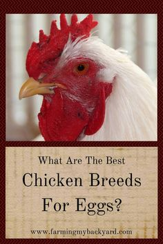 Choosing the best chicken breeds for eggs can make a big difference in the number of eggs you get each year. Here are some of the best egg laying chickens. Chicken Breeds For Eggs, Chicken Eggs, Backyard Farming, Chickens Backyard, Best Egg Laying Chickens, Grow Your Own Food, Farm Life, Good Things, Chicken Coops