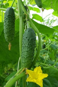 all about growing cucumbers / ATTRACTS: Hummingbirds (flowers).  Plant with Sage which attracts Goldfinch. FAVORITE OF HUMMINGBIRDS!