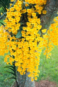 Kamahele yellow orchids draping down from a tree