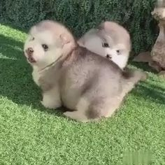 Cute Husky Puppies, Super Cute Puppies, Baby Animals Super Cute, Cute Baby Dogs, Cute Funny Dogs, Cute Little Animals, Cute Funny Animals, Alaskan Malamute Puppies, Lab Puppies