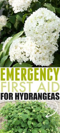 hydrangea garden care Emergency First Aid for Hydrangea Problems Garden Care, Hydrangea Bush, Hydrangea Care, Gardening For Beginners, Gardening Tips, Indoor Gardening, Gardening Websites, Shade Garden, Garden Plants