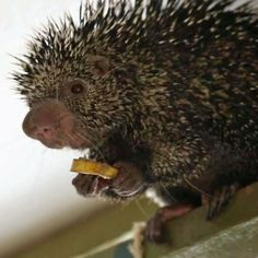 Kemosabe, a prehensile porcupine, has squealed his way into our hearts with his giant body and long tail.