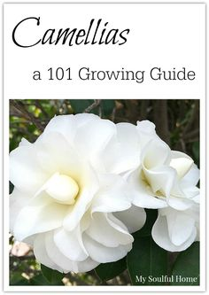Camellias - a 101 Guide All you need to know about selecting, planting, caring for & pruning Camellias