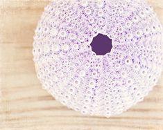 "Sea Urchin Print - beach photography seashell shell photo light pale purple beige white art, 11x14, 8x10 Photograph, ""Treasure from the Sea"""