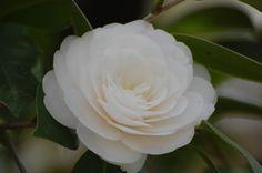 「白椿 画像 フリー」の画像検索結果