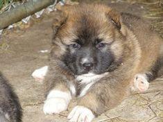 Russian caucasian mountain dogs and caucasian mountain dogs