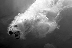 175 years of Sun photography: 2006: Magnet, the Maryland Zoo in Baltimore's male polar bear