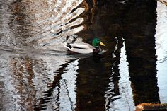 Mallard Duck by Claude Charbonneau Mallard, Bird, Animals, Animales, Animaux, Birds, Animal, Animais