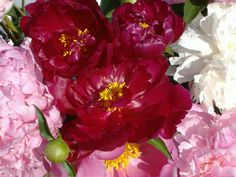 Peonies. My favorite. Smell so good.