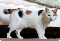 El gato Bobtail Japonés | Gatos domésticos