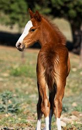 Spanish Barb Horse Association -Dripping Springs 2010 foal  #SaveAmericasMustangs