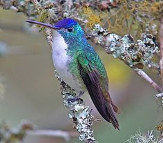 The Andean emerald (Agyrtria franciae) is a species of hummingbird found at forest edge, woodland, gardens and scrub in the Andes of Colombia, Ecuador and northern Peru.