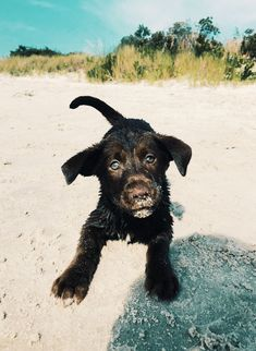 Lab Puppies, Cute Dogs And Puppies, Baby Dogs, Doggies, Really Cute Dogs, Cute Little Animals, Cute Creatures, Animals And Pets, Dog Lovers