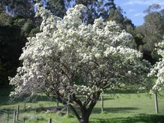 Pear Tree like (Bartlett, Bosc, Red D'Anjou) Spring Blooming Trees, Pear Trees, Moon Garden, Art Projects, Garden Ideas, Gardens, Yard, Fruit, Plants