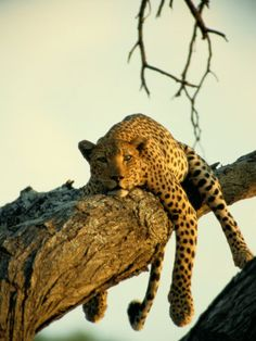 A leopard lounges in a tree, its paws and tail dangling. Leopards in Africa often hide food high among the branches where hyenas and lions cannot reach it. Ocelot, Lynx, Wildlife Photography, Animal Photography, Digital Photography, Big Cats, I Love Cats, Beautiful Creatures, Animals Beautiful