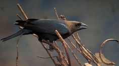 """Centuries ago this bird probably followed bison herds on the Great Plains, feeding on insects flushed from the grass by the grazers. Today it follows cattle, and occurs abundantly from coast to coast. Its spread has represented bad news for other songbirds: Cowbirds lay their eggs in nests of other birds. Heavy parasitism by cowbirds has pushed some species to the status of """"endangered"""" and has probably hurt populations of some others."""