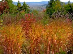 Grasses - Miscanthus purpurascens (Flame grass), and Viburnum trilobum