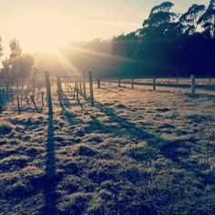 Frosty morning in our vineyard #Tassie