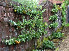 espaliered fruit trees.....lovely!!