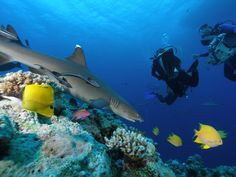 New Study Suggests Sharks Are More Abundant On Healthy Coral Reefs