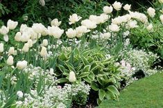 A White Border Idea for Your Spring Garden: Z3, sunny-part shade ... white forget-me-nots (Myosotis sylvatica) ... with mid season 'White Dream' Triumph tulips & 'Mount Tacoma' Double/Peony late
