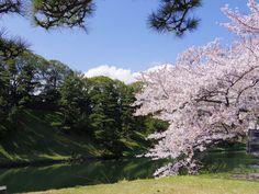 皇居の桜 お花見