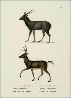 Karl Brodtmann  Deer