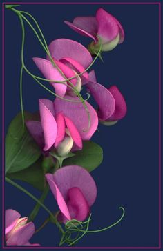 ~~ Sweet Peas by Judy Stalus ~~ tattoo idea?