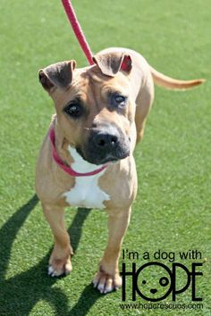 Izzy is an adoptable Pit Bull Terrier, Boxer Dog in Alton, IL Izzy is a female PitBull/Boxer mix about 2 years old. She does not do well with other dogs and ... ...Read more about me on @petfinder.com