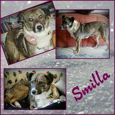 Smilla ist eine erst ca. 1 jährige Mischlingshündin. Sie hat eine Schulterhöhe von 43 cm. Smilla ist ängstlich und schreckhaft und wird daher nur in einen ruhigen Haushalt ohne Kinder vermittelt. Laute Geräusche und schnelle Bewegungen machen ihr Angst. Hat sie erstmal Vertrauen zu einem dann zeigt sie sich durchaus verschmust. Da sie mit Hunden verträglich ist wäre ein souveränen Ersthund toll der ihr etwas Sicherheit geben kann.  Smilla ist geimpft und gechipt und wird nur nach…