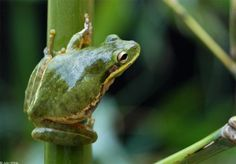 Squirrel Tree Frog (Hyla squirella)