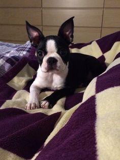 Lola Boston Terrier | Pawshake
